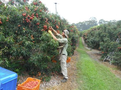 Picking Fruit in Australia