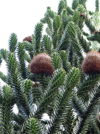 Bunya Pine Foliage