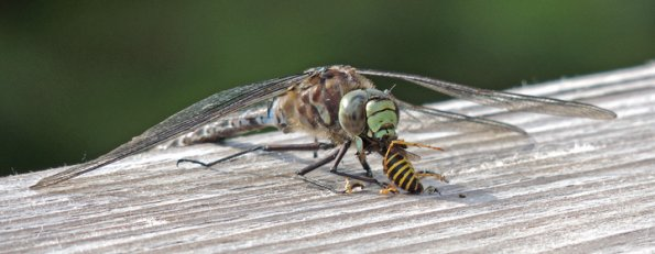 lake-darner-dragonfly-eating-yellow-jacket_595