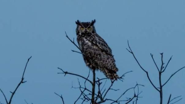 Crepuscular Owl