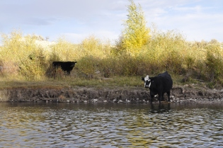 Cows are still a constant companion on the river