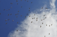 Hundreds of herons soar overhead
