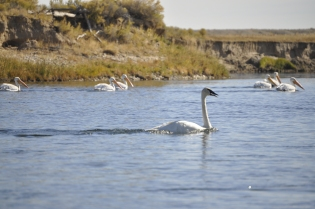 Trumpeter Swan and Pelicans