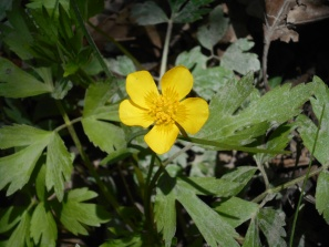 Hispid Buttercup