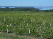 Vineyard overlooking Grand Traverse Bay